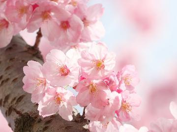 河津桜◆春に彩る伊豆の定番!素泊まり価格で2食付き★会話にも花咲くAll the wayへ~