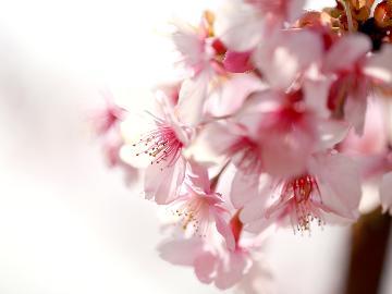 【NEW】【公式HP限定】河津桜まつり先行販売!■さくら祭り特別料理■