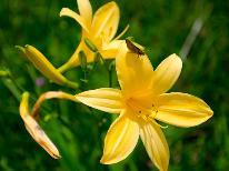 【送迎付】裏磐梯から行く雄国沼湿原《天然記念物》♪満開のニッコウキスゲは圧巻♪大自然を楽しむ