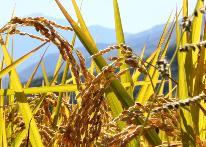【秋の味覚】◆白馬で秋味を満喫◆『新米あきたこまち、キノコ、秋フルーツ』<1泊2食>