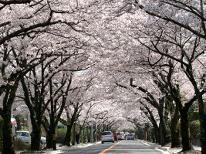伊豆の桜第2弾★桜のトンネル・伊豆高原桜並木と懐石料理♪貸切露天風呂無料【特典付】