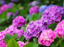 【あじさい祭】期間中は最大20%OFF♪1泊2食7,344円~!直前予約OK!湯田上の紫陽花を見に行こう♪