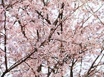 。+信州の桜はGWが見頃!+。戸隠神社×日本桜 お花見に嬉しい特典で戸隠の春を満喫【一泊二食付き】