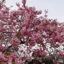 今年はどうしても河津桜祭りに行ってみたい。という方へ♪春よ来い!「河津桜まつり」と「海鮮七宝焼き」プラン