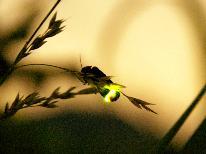 【ホタル観賞】伊豆自然の村 送迎特典付◆幻想的な天然のホタルが舞う 《季の舞-toki-》あわび・舟盛付 スペシャル会席