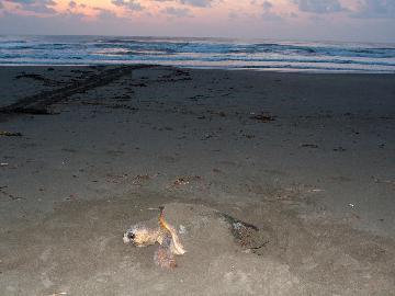 【夏休み、感動体験】アカウミガメの産卵を観察♪[1泊2食付]