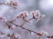 ★。+日本三大桜の一つ『山高神代桜』と『桜並木』を見に行こう+。嬉しい特典付きお花見プラン■1泊2食付