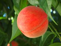 【7月~8月限定】●もも●新亀イチオシ!季節の果物狩り≪無料≫ももを味わい尽くそう◇1泊2食◇