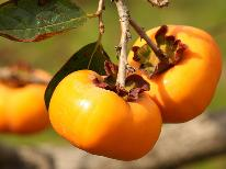 【10月限定】●ひらたね柿●新亀イチオシ!季節の果物≪おみやげ付き≫ひらたね柿を味わい尽くそう◇1泊2食◇