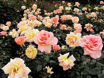 花巻のバラ園は今が旬♪フラワーアロマと白金豚のしゃぶしゃぶでリラックス&ヘルシー料理の大人女子旅♪