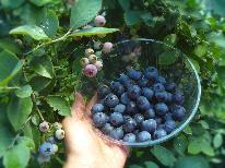 【期間限定・果物狩り】温泉と美食に癒された後は、家族みんなでブルーベリー狩り体験♪