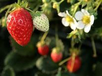 【期間限定】摘みたてイチゴ 30分食べ放題付き♪ちちぶいちご狩りプラン☆