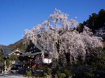 身延のしだれ桜で春を楽しむ♪プレゼント特典付♪♪