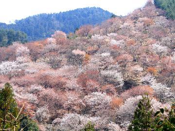 【3/28~4/19限定】絶景☆吉野の桜を満喫♪春のさくら会席プラン