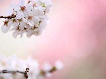 春爛漫♪お花見弁当付き!ブライベート空間で楽しむ、お花見プラン