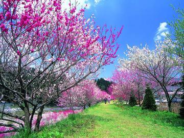 【GW】日本一の花桃鑑賞 & 吉弥で優雅なひとときを・・・♪期間限定の1泊2食付 プラン