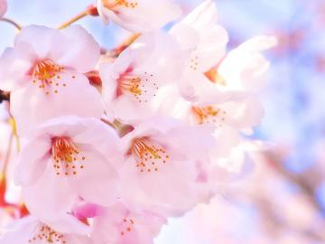 【2食付】<3/20~4/20限定>春の訪れに心躍る~SAKURA FAIR~春限定特別メニュー付★
