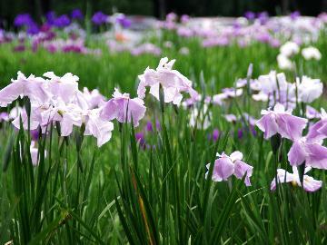 一面鮮やかな紫の花しょうぶで初夏の香りを楽しむ♪酒蔵の街 喜多方の地酒呑み比べセット付♪