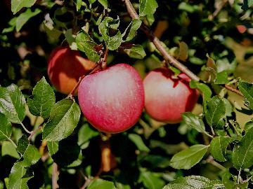【りんご狩りプラン】秋の味覚狩り体験&お持ち帰り!秋の特別料理も楽しめる【みなかみフルーツランド】